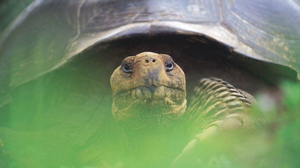 GAL_wildlife_giant_tortoise_closeup